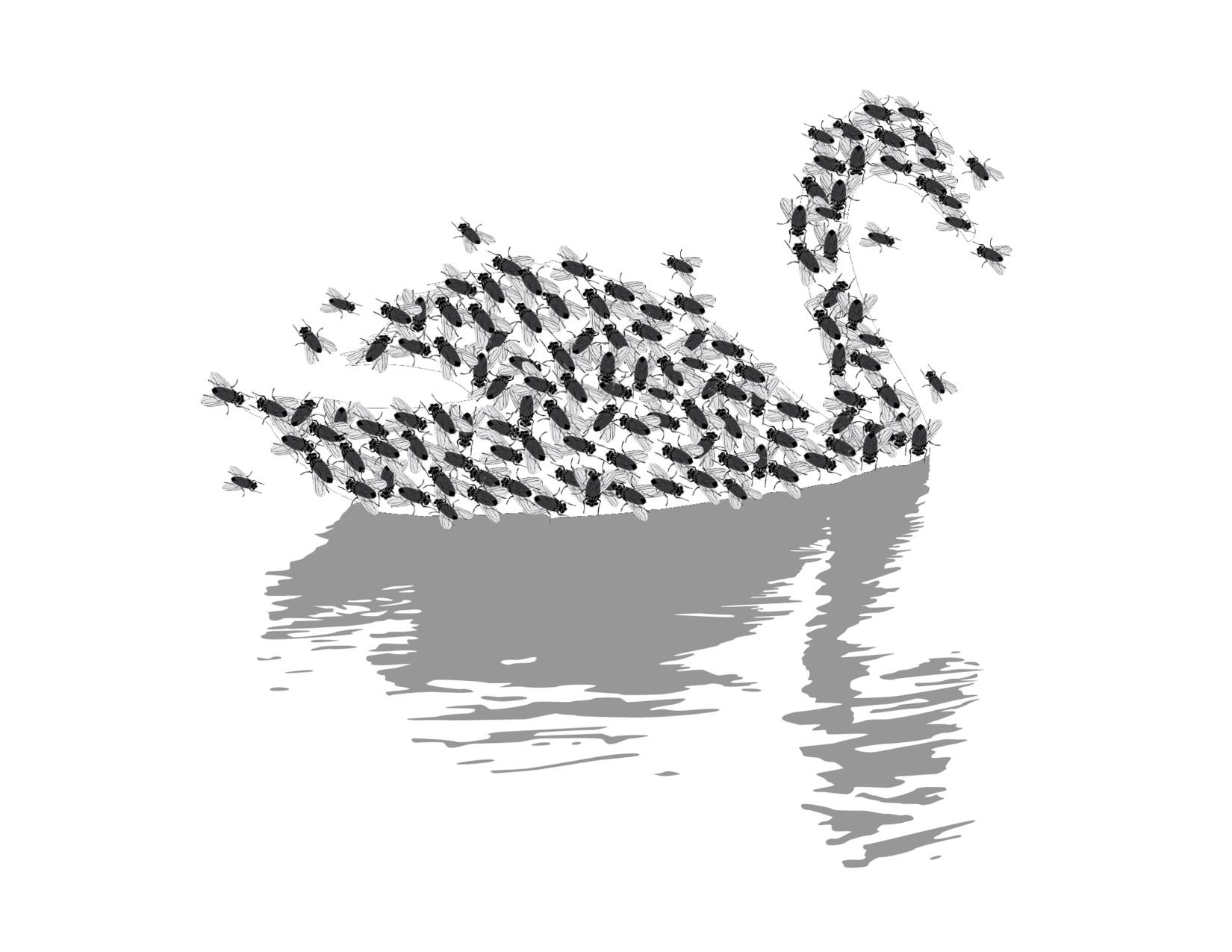 Black Swan, Black Flies